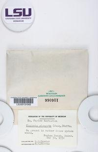 Cladonia gracilis subsp. elongata image