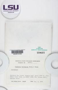 Cladonia farinacea image