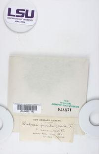 Cladonia furcata var. racemosa image