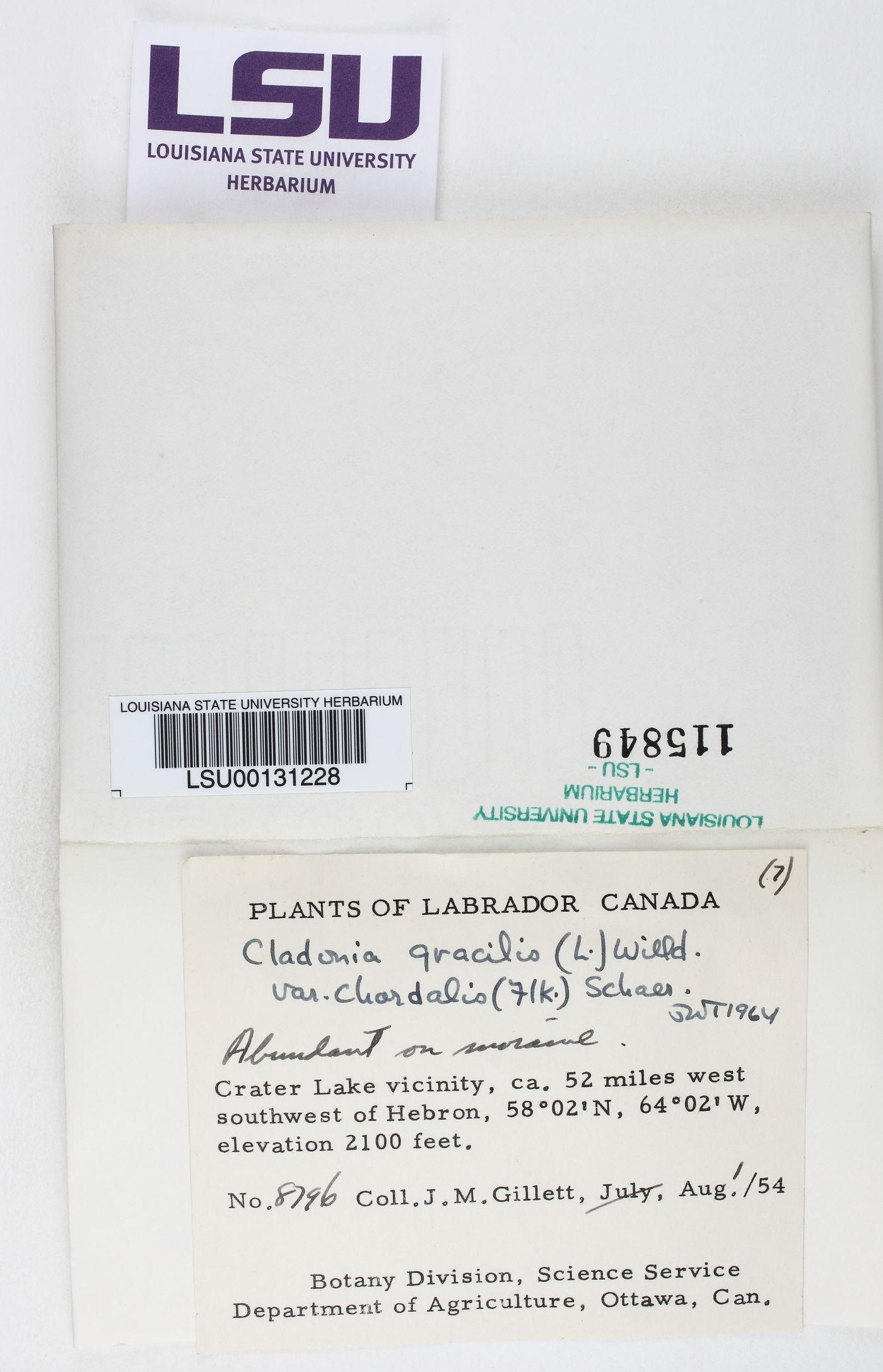 Cladonia gracilis var. chordalis image