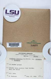 Cladonia gracilis var. elongata image