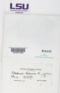 Cladonia leporina image
