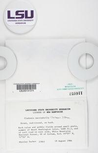 Cladonia macrophylla image
