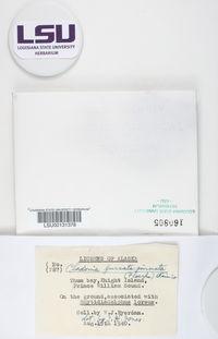 Cladonia maxima image