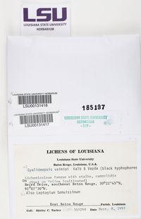 Scytinium tenuissimum image