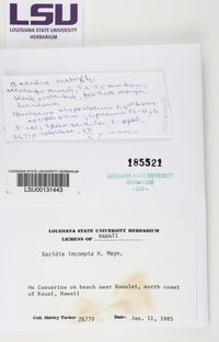 Image of Bellicidia incompta