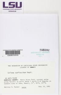 Collema subflaccidum image