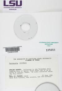 Verrucaria viridula image