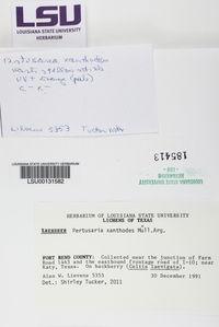 Pertusaria xanthodes image