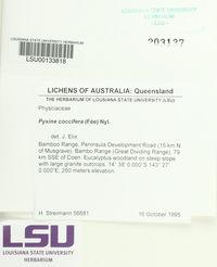 Image of Pyxine coccifera