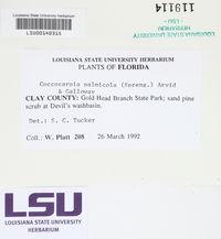 Coccocarpia palmicola image