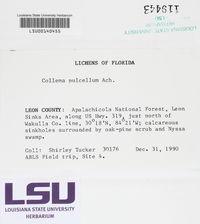 Collema pulchellum image