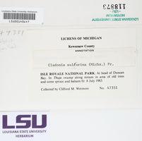 Cladonia sulphurina image