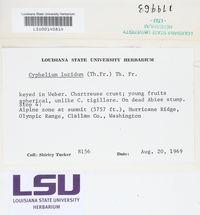 Cyphelium lucidum image