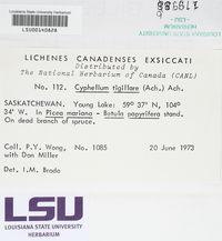 Calicium tigillare image