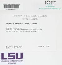 Dactylina beringica image