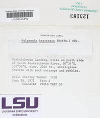 Gyalolechia bracteata image