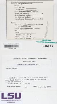 Acanthothecis poitaeoides image