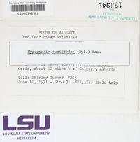 Hypogymnia austerodes image
