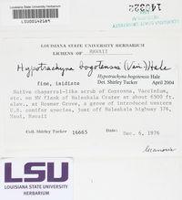 Hypotrachyna bogotensis image