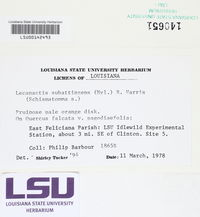Lecanactis epileuca image
