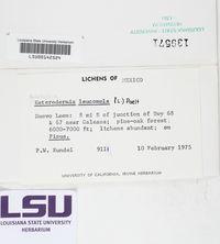 Leucodermia leucomelos image