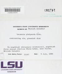 Lecanora albellula image