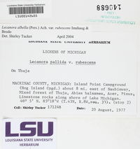 Lecanora albella var. rubescens image