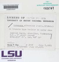Image of Myriolecis albescens