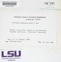Lecanora epibryon image