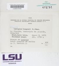 Leptogium burgessii image