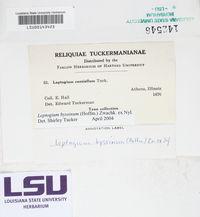 Leptogium byssinum image