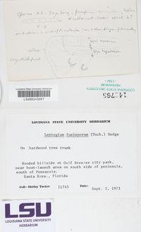 Leptogium fusisporum image