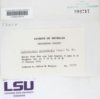 Leptorhaphis epidermidis image