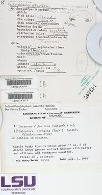 Caloplaca atroalba image