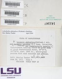 Lobothallia alphoplaca image