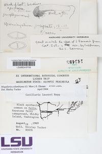 Megalaria columbiana image