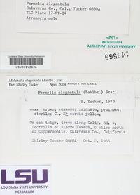 Melanohalea elegantula image