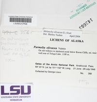 Melanohalea olivacea image