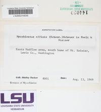 Mycoblastus affinis image