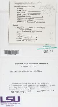 Mycocalicium albonigrum image