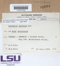 Myelochroa galbina image