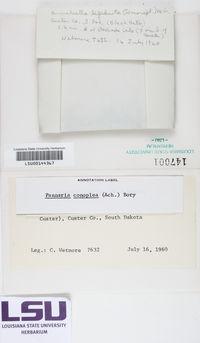 Pannaria conoplea image