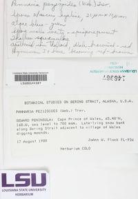Protopannaria pezizoides image
