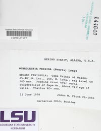 Ochrolechia frigida image