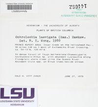 Ochrolechia laevigata image