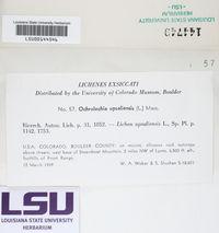Ochrolechia upsaliensis image