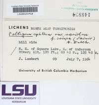 Peltigera leucophlebia image