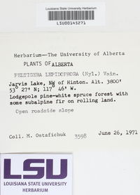 Peltigera lepidophora image