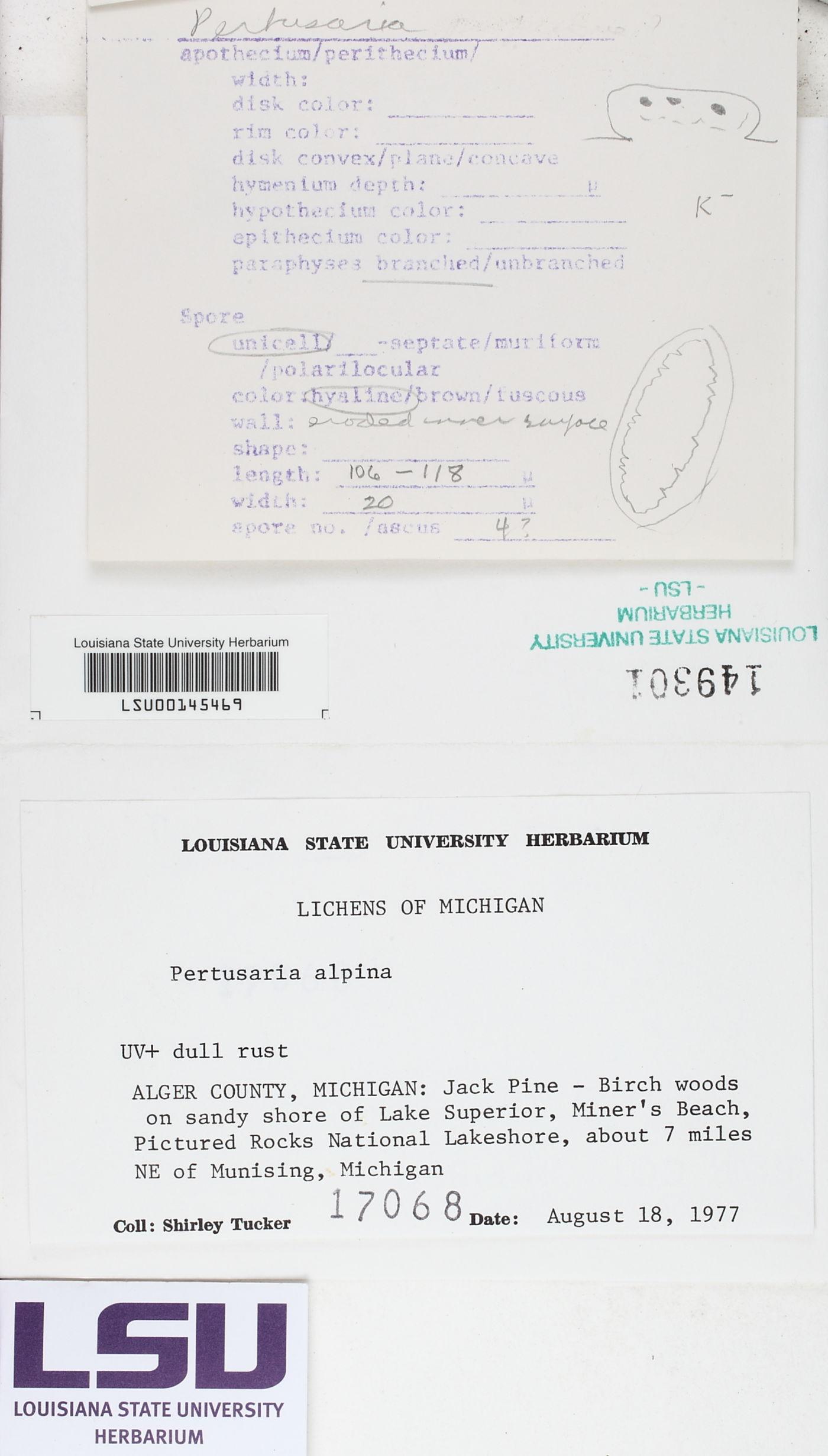 Pertusaria alpina image